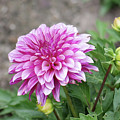 Pink Dahlia 2  by Nancy Aurand-Humpf