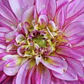 Pink Dahlia by Aimee L Maher ALM GALLERY