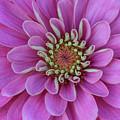 Pink Dahlia by Dale Kincaid