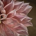 Pink Dahlia In Bloom by Kaleidoscopik Photography