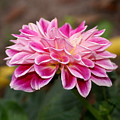 Pink Dahlia Power by Debbie May