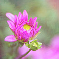 Emerging Pink Dahlia Full Of Hope by Anita Pollak