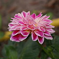 Pink Dahlia Two by Debbie May