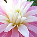 Pink Dahlias Art Dahlia Flowers Giclee Prints Baslee Troutman by Baslee Troutman