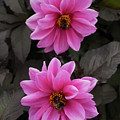 Pink Dahlias With Bees by Josie Gilbert