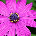 Pink Daisy by Dori Peers