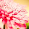 Pink Daisy Subdued by Tonya Laker