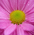 Pink Daisy With Raindrops by Carol Groenen