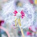 Pink Dandelion by Parker Cunningham