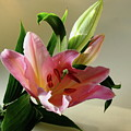 Pink Daylily by Jeff Townsend