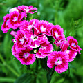 Pink Dianthus by Cathie Tyler