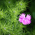 Pink Dianthus With Nigella Buds by Teresa Mucha
