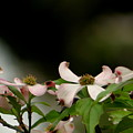 New Orleans Pink Dogwood Equinox by Michael Hoard