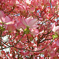 Pink Dogwood Flowering Tree Art Prints Canvas Baslee Troutman by Baslee Troutman