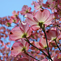 Pink Dogwood Flowers Landscape 11 Blue Sky Botanical Artwork Baslee Troutman by Baslee Troutman