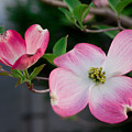 Pink Dogwood In The Morning Light by Lori Coleman