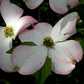 Pink Dogwood by Janis Kirstein