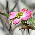 Pink Dogwood by Kerri Farley