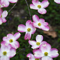 Pink Dogwood Mo Bot Garden Dsc01756 by Greg Kluempers