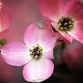 Pink Dogwood by Tom Singleton