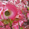 Pink Dogwood Tree Flowers Dogwood Flowers Giclee Art Prints Baslee Troutman by Baslee Troutman