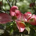 Pink Dogwoods by Lorna Hooper