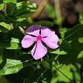 Pink Downy Phlox Wildflower by William Tasker