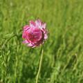 Pink Everlasting by Cassandra Buckley