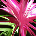 Pink Explosion by Mary Bedy