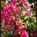 Pink Explosion by Ricky Barnard
