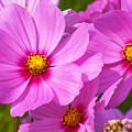 Pink Flower Conspirisy by Richard Henne
