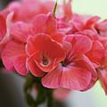 Pink Flower by Nicola Nobile