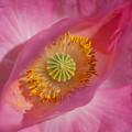 Pink Flower by Yuri Levchenko