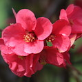 Pink Flowering Quince by Carol Groenen