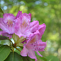 Pink Flowering Rhododendron Bush In Full Bloom by DejaVu Designs