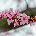 Pink Flowering Tree - Crabapple With Drops by Ina Kratzsch