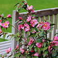 Pink Flowers By The Bench by Cynthia Guinn