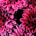 Pink Flowers  by Carol  Eliassen