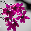 Pink Flowers by Craig Perry-Ollila