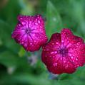 Pink Flowers II by Marta Grabska-Press