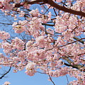Pink Fluffy Branches by Nadia Asfar