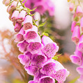 Pink Foxglove by Heather Hubbard