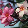 Pink Frangipani Flower And Raindrops by Don Kreuter