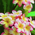 Pink Frangipani by Sheila Smart Fine Art Photography