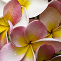Pink Frangipani by Avalon Fine Art Photography