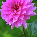 Pink Garden Flower by Juergen Roth