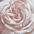 Pink Garden Rose by Patricia Montgomery