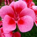 Pink Geranium Blossom by Valerie Ornstein