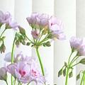 Pink Geranium by Jim  Darnall