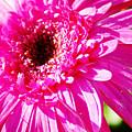 Pink Gerber by Donna Bentley